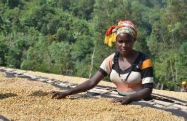Kolisha koffie uit Ethiopie