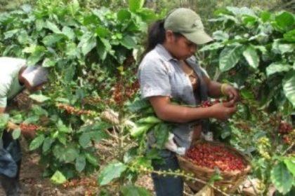 Koffieplukkers in El Salvador