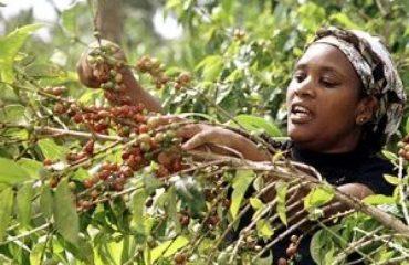 koffie in Kenia