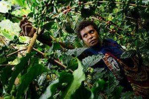 Papoea Nieuw Guinea koffie plukster